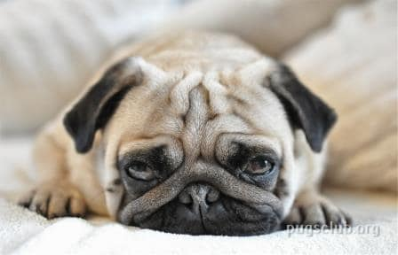Pug Wrinkle infection Dog