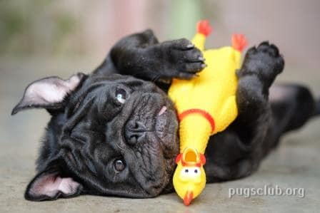 pugs for adoption