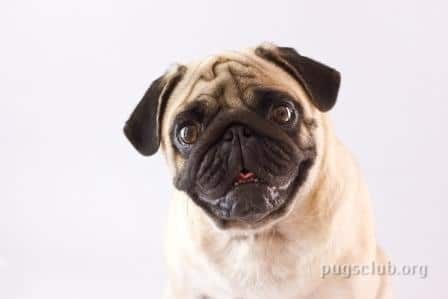pugs eyes cleaning