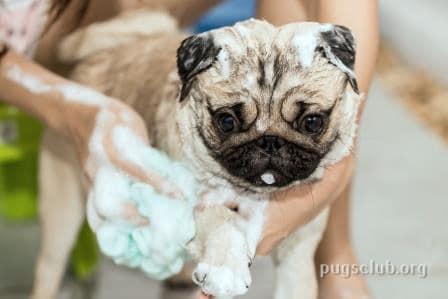 pug bathing