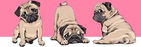 Ultimate Guide to buy a Pug, rescue a Pug or adopt a Pug