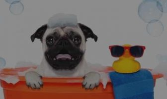 Pug Bathing Schedule – Little known secrets about it