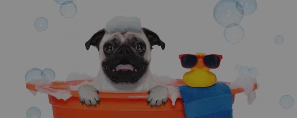 Bathing your Pugs