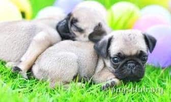 best food puppies pugs dog