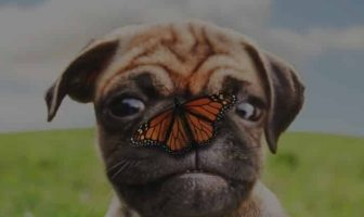 Pug Eyes Problems – One quick way to prevent them