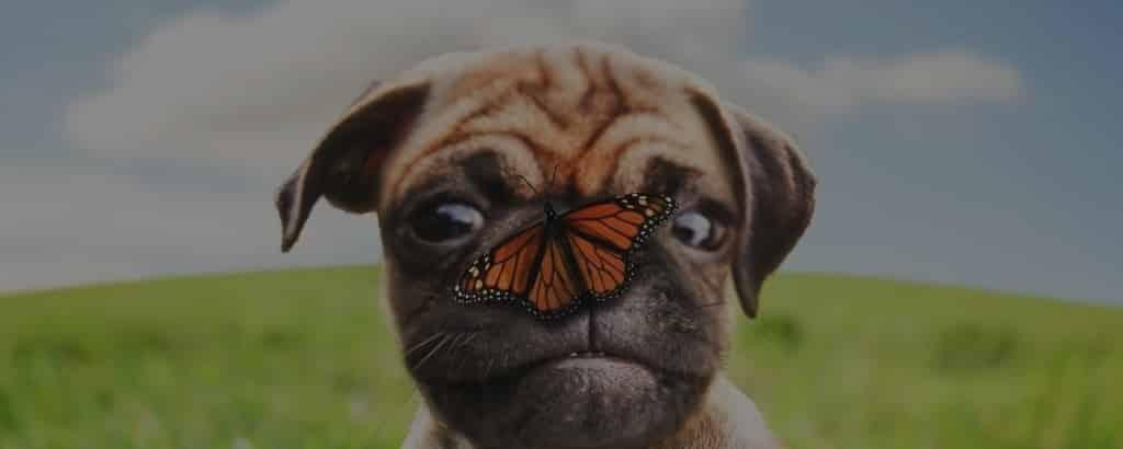 Pugs eyes problems