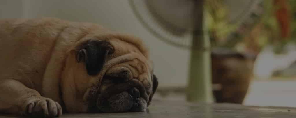 Pugs summer care