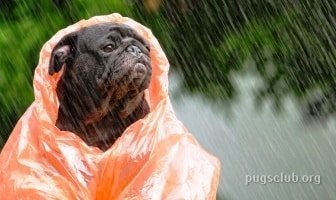 Best Raincoats for Pugs