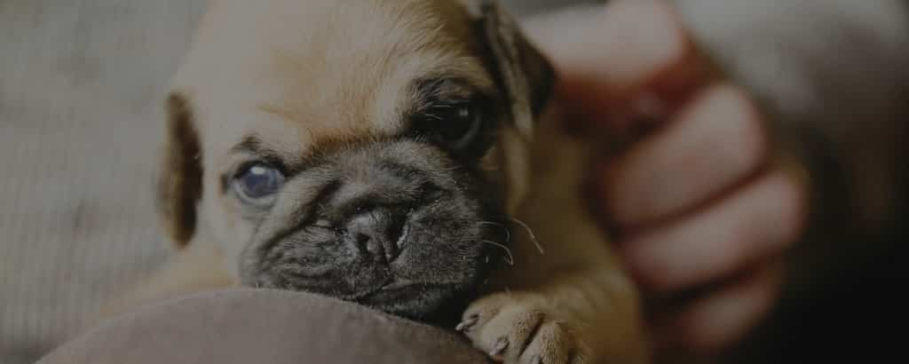 Pugs nose problems