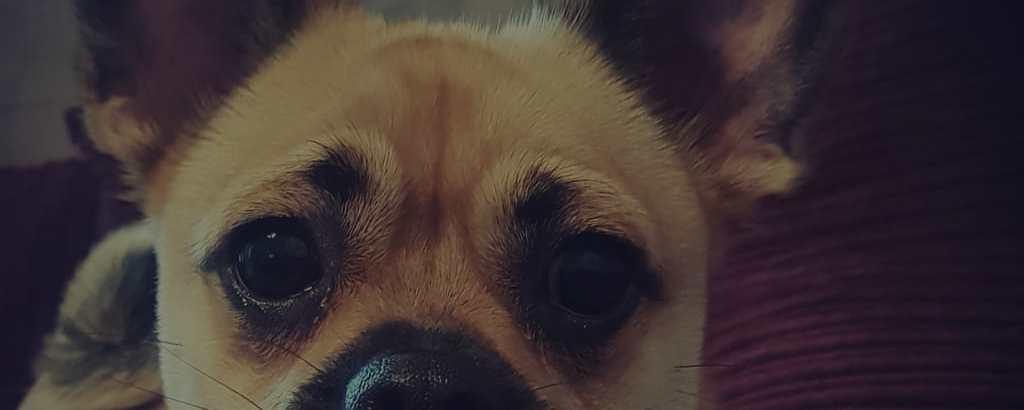 Pomeranian Pug mix