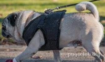 Best Harnesses for Pugs