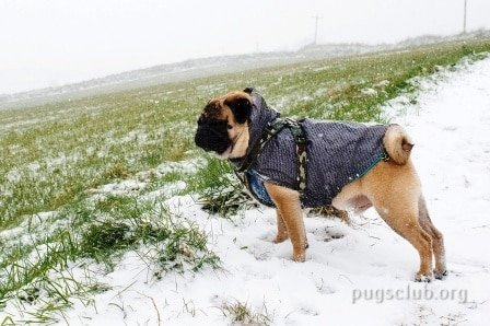 pug winter care