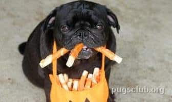 best treats snacks pug dog