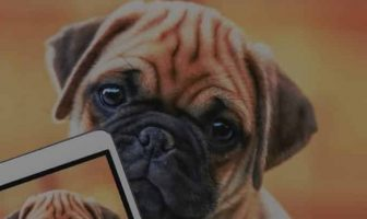Pug Wrinkle Infection – The Verified Process to heal it