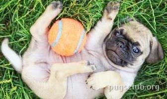 Best Balls Toys For Pugs