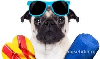 Best Sunscreens for Pugs