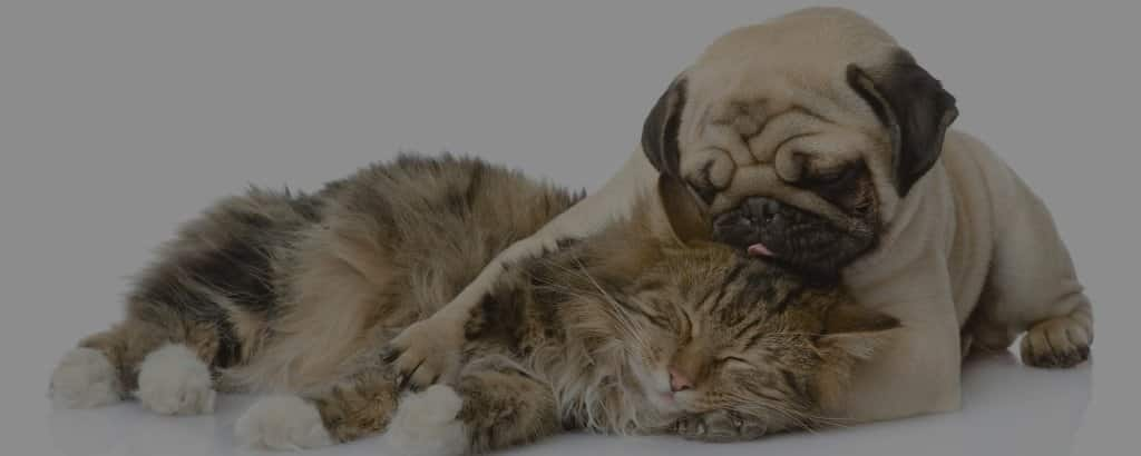 do pugs get along with cats