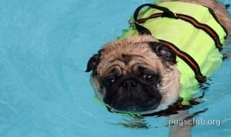Best Life Jackets for Pugs