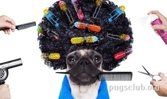 best anti hair loss pug dog