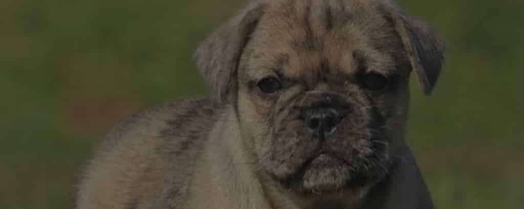 Pug English Bulldog mix