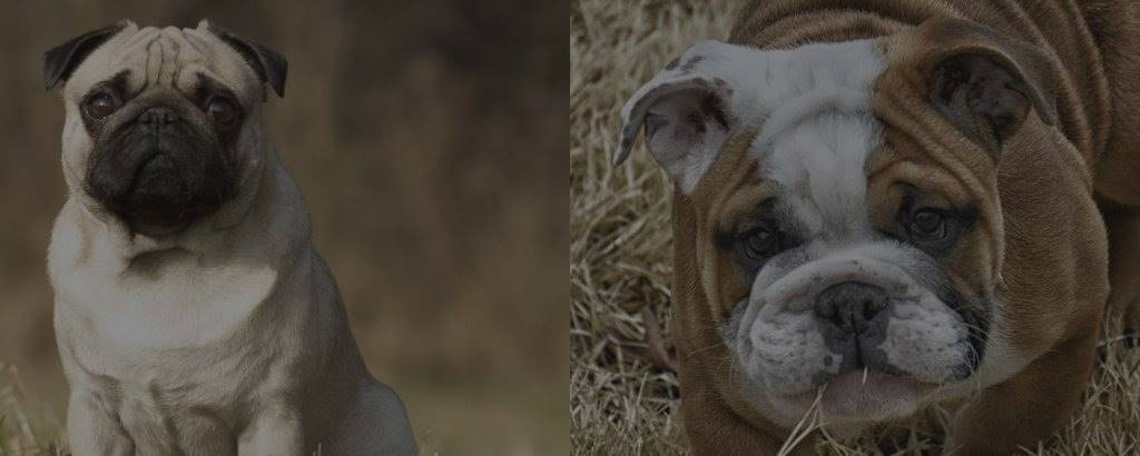 Pug vs English Bulldog