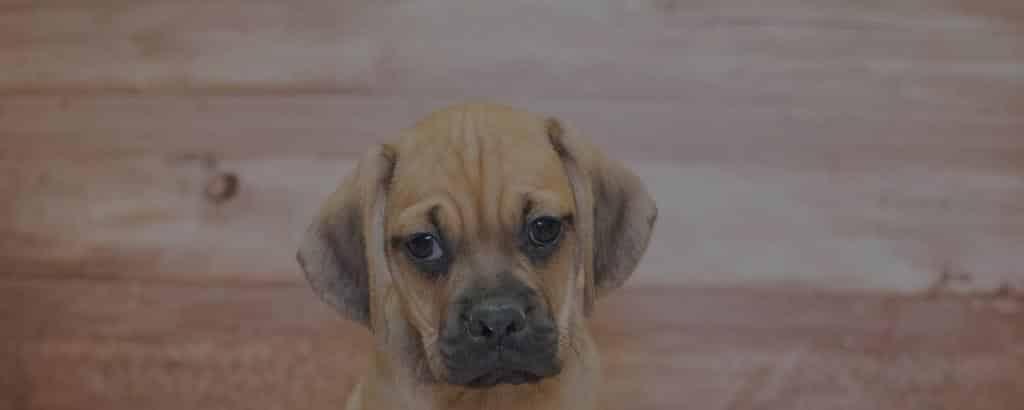 Puggle - Beagle Pug Mix