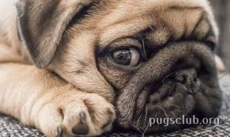 Best Grooming Wipes for Pugs