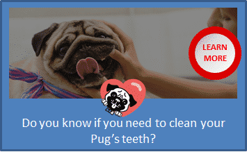 pug teeth cleaning