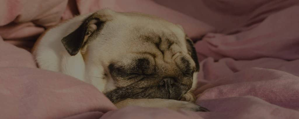 why do pugs snore