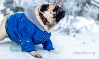 best winter jacket coat pug dog