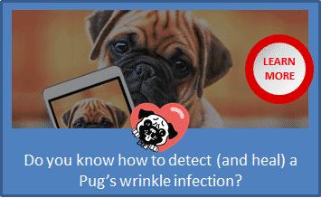 pug sores in wrinkles